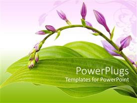 PowerPlugs: PowerPoint template with a beautiful branch of hosta flowers with leaves in the background