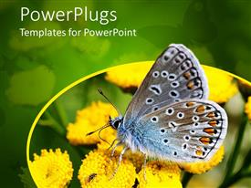 PowerPlugs: PowerPoint template with beautiful butterfly sitting on yellow flowers drinking nectar