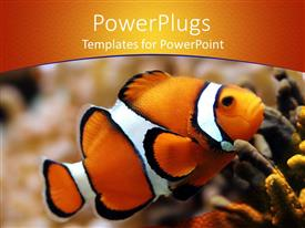 PowerPlugs: PowerPoint template with beautiful clown fish swimming in sea bed