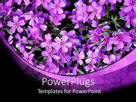 PowerPlugs: PowerPoint template with a beautiful depiction of violet flowers in a pot with dark background