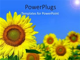 PowerPlugs: PowerPoint template with beautiful field of sunflower with light glow in blue sky