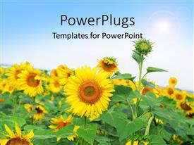 PowerPlugs: PowerPoint template with beautiful field of sunflower with sunshine over field