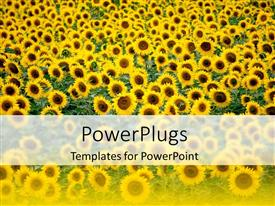 PowerPlugs: PowerPoint template with beautiful field of sunflower themed yellow and green