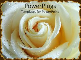 PowerPoint template displaying a beautiful fresh white rose with corners being highlighted by silver lining