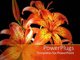 PowerPlugs: PowerPoint template with beautiful orange lily on black background