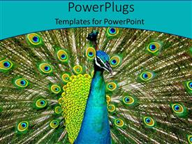 PowerPlugs: PowerPoint template with a beautiful peacock with place for text along with bluish background