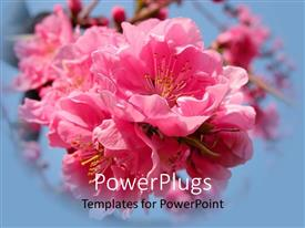 PowerPoint template displaying beautiful pink cherry flowers inflorescence on sky blue background