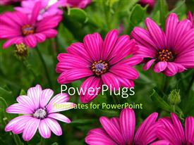 PowerPlugs: PowerPoint template with beautiful purple daisy flowers blossom with green leaves