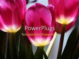 PowerPlugs: PowerPoint template with beautiful purple and white colored tulips flourishing in garden