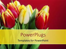 PowerPlugs: PowerPoint template with beautiful red and white roses bouquet over red background