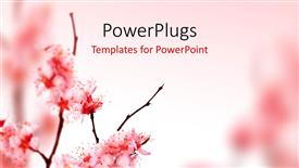 PowerPoint template displaying beautiful spring blossom in pink
