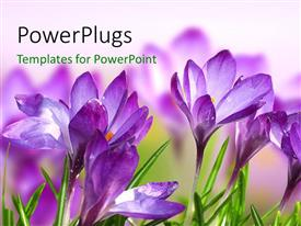 PowerPlugs: PowerPoint template with a number of purple flowers with a blurred background