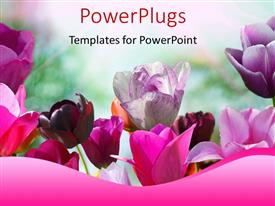 PowerPlugs: PowerPoint template with beautiful spring flowers in pink and purple with nature in background