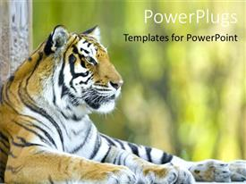 PowerPoint template displaying beautiful tiger resting, tiger at a zoo, close up of tiger head with body laying on the ground with blurred background