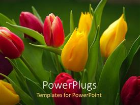 PowerPlugs: PowerPoint template with beautiful Tulips growing in flower garden