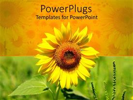 PowerPlugs: PowerPoint template with beautiful yellow sun flower on yellow and green background