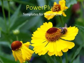 PowerPlugs: PowerPoint template with bee sucking nectar of yellow sunflower in garden