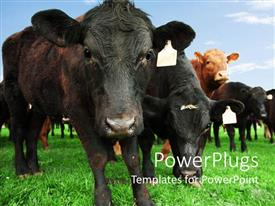 PowerPoint template displaying beef cow with other cattle