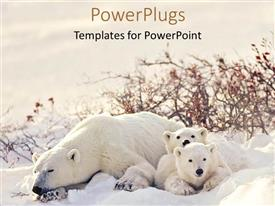PowerPlugs: PowerPoint template with big polar bear with two cubs lying on snow