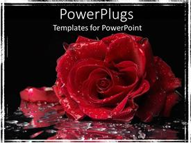 PowerPlugs: PowerPoint template with big red rose with water droplets on a black background