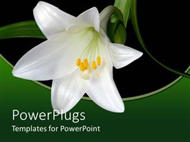 PowerPlugs: PowerPoint template with black background with white lily and fresh green leaves