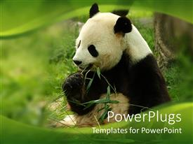PowerPlugs: PowerPoint template with black and white giant panda eating green bamboo with green wave border