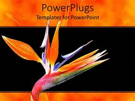 PowerPlugs: PowerPoint template with blossoming colorful fresh spring flower on a black background