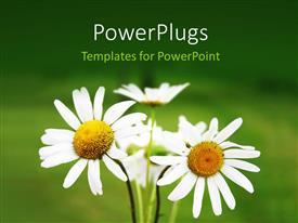 PowerPoint template displaying bouquet of blooming daisy flowers with green color