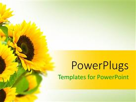 PowerPlugs: PowerPoint template with bouquet of yellow sunflowers with green leaves on gradient white and green background with yellow band