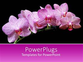 PowerPlugs: PowerPoint template with branch with pink orchid flowers on black background with pink band for text