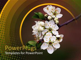PowerPoint template displaying branch of tree with white bunch of flowers on it