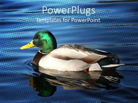 PowerPlugs: PowerPoint template with brightly colored duck swimming on calm, reflective water