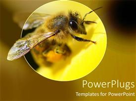 PowerPoint template displaying a bumble bee magnified in a yellowish view with yellow background