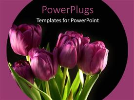 PowerPlugs: PowerPoint template with bunch of beautiful Purple tulips blooming with black color