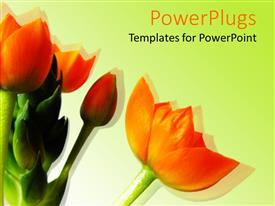 PowerPlugs: PowerPoint template with a bunch of bright orange flowers on a white background