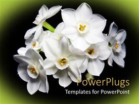 PowerPlugs: PowerPoint template with bunch of lovely white flowers on black and green background