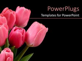 PowerPlugs: PowerPoint template with bunch of pink colored tulips on a black background