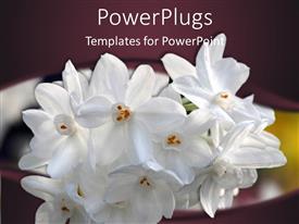 PowerPlugs: PowerPoint template with bundle of white flowers peaking through dark purple background