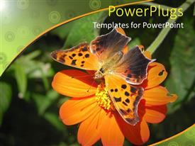 PowerPoint template displaying butterfly enjoying nectar fro zinnia flower