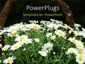 PowerPlugs: PowerPoint template with cane basket filled with beautiful white daisies with blurry background