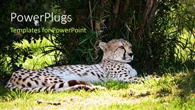 PowerPoint template displaying a leopard with greenery in the background