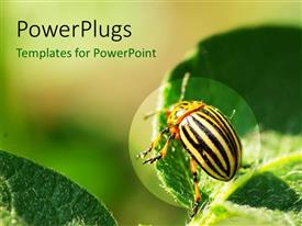 PowerPlugs: PowerPoint template with close-up of beautiful Colorado Beetle on green leaf