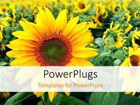 PowerPlugs: PowerPoint template with close-up of beautiful sunflower in flower field
