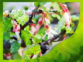 PowerPoint template displaying close-up of gooseberry blossoms with ice, green background, nature, winter