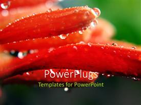 PowerPoint template displaying close-up of Honeysuckle with water droplets from morning dew