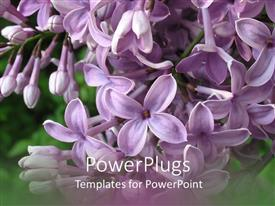PowerPoint template displaying close-up of lilac blossoming in green garden