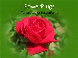 PowerPlugs: PowerPoint template with close-up of red rose in garden with green blur