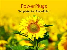PowerPlugs: PowerPoint template with close-up of sunflower in beautiful field of sunflower