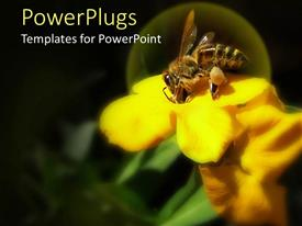 PowerPlugs: PowerPoint template with close up of bee collecting honey from yellow flower on black background