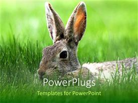 PowerPlugs: PowerPoint template with close up of brown cotton tail bunny in grass